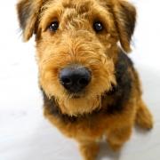 Fotoshooting Hund Airedale Terrier Kassel