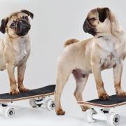 Tierfotograf - Kassel Mops auf Skateboard