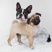 Fotoshooting Kassel Hunde - Mops